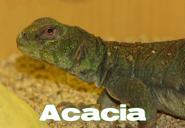 Acacia - Uromastyx ocellata