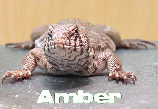 Amber - Uromastyx philbyi