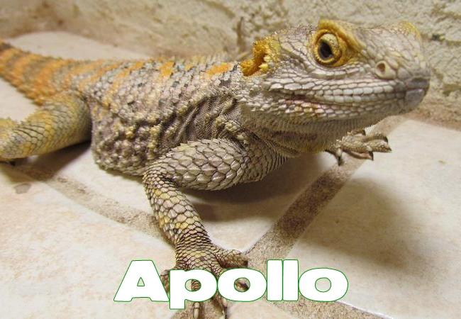 Apollo- Agame peint - Laudakia stellio salehi
