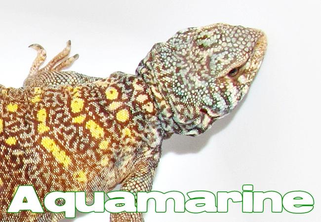 Aquamarine - Uromastyx ornata ornata