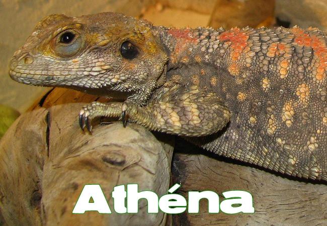 Athena - Agame peint - Laudakia stellio salehi