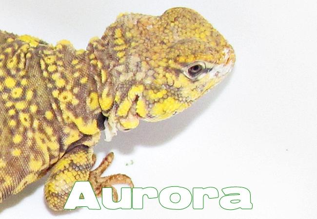 Aurora - Uromastyx geyri