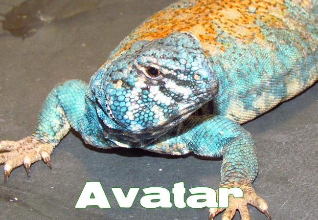 Avatar - Uromastyx philbyi