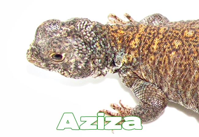 Aziza - Uromastyx philbyi