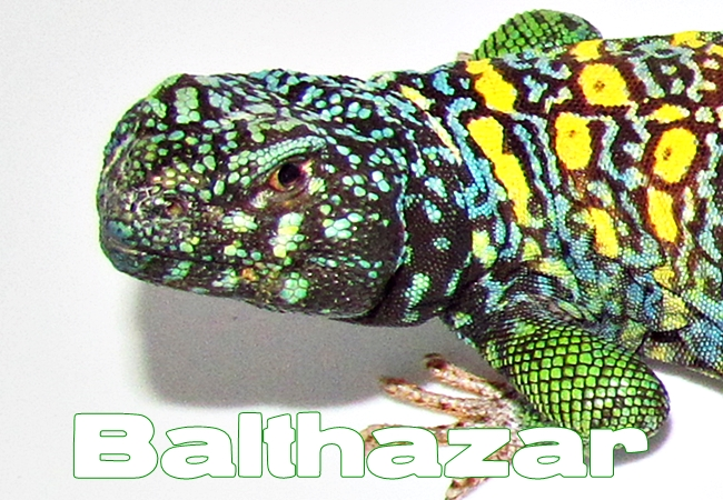 Balthazar - Uromastyx ornata ornata
