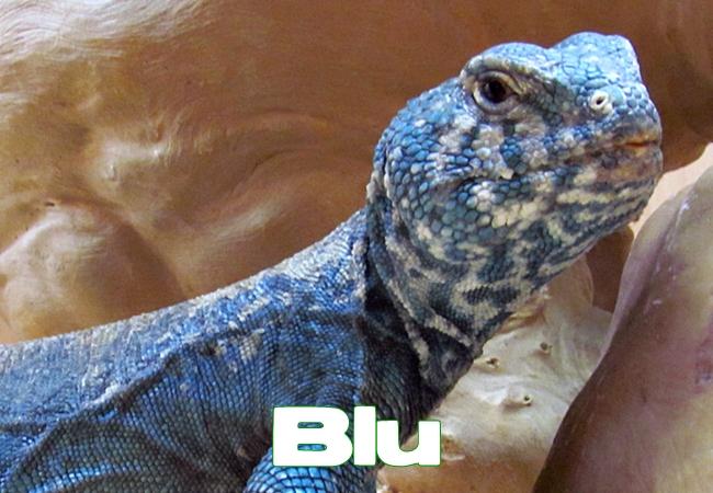 Blu - Uromastyx philbyi