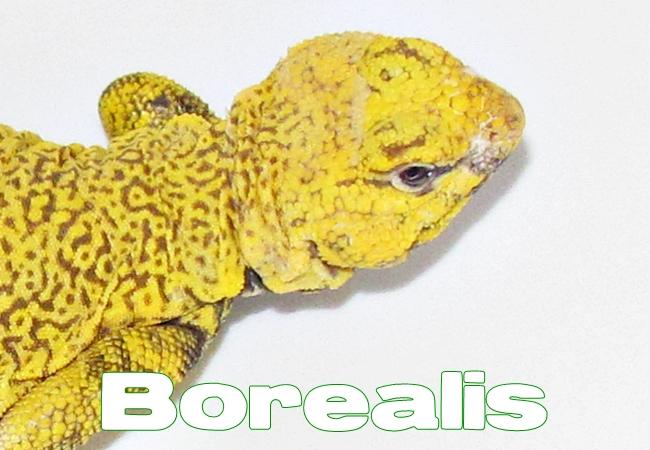 Borealis - Uromastyx geyri