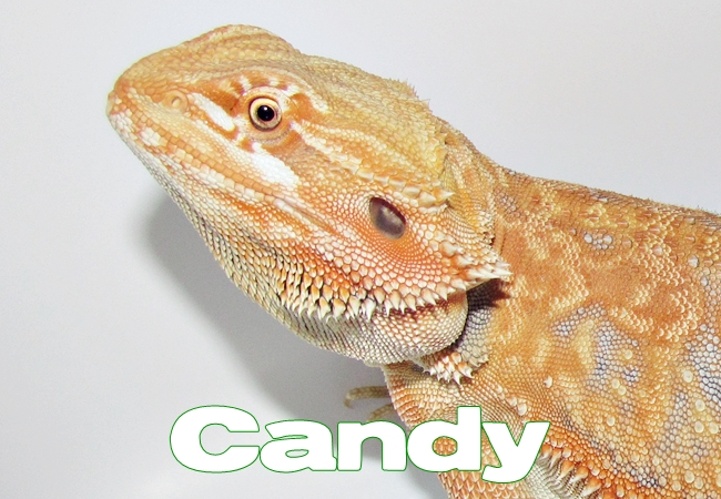 Candy - Dragon barbu - Pogona vitticeps