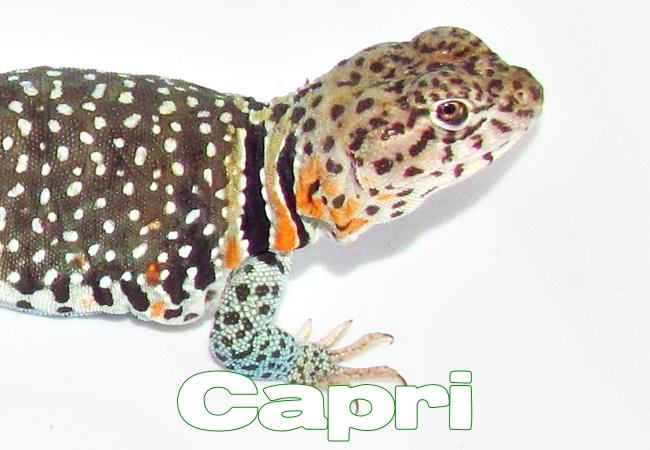 Capri - Lézard à collier de l'Est - Crotaphytus collaris