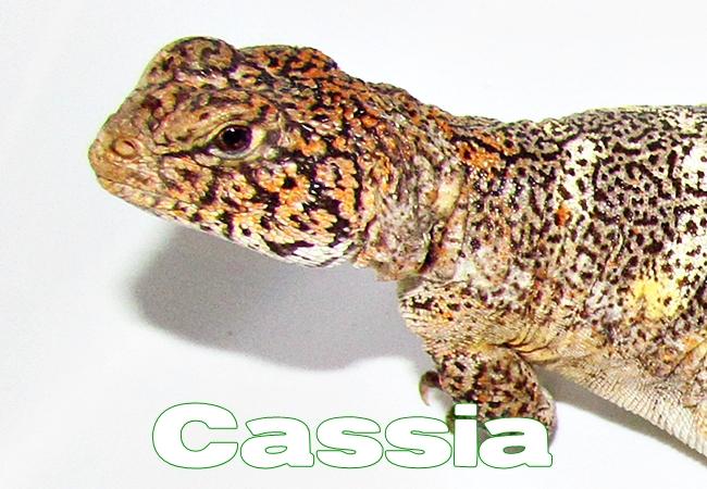 Cassia - Uromastyx yemenensis