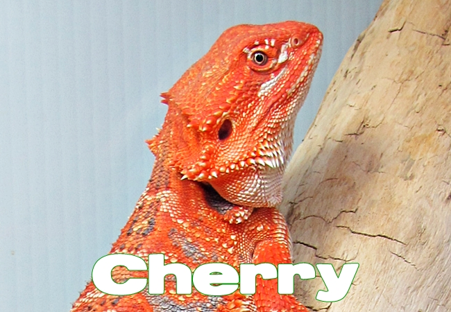 Cherry - Dragon barbu - Pogona vitticeps