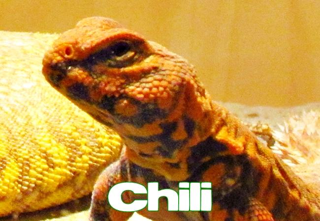 Chili - Uromastyx geyri