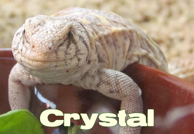 Crystal - Uromastyx ornata ornata