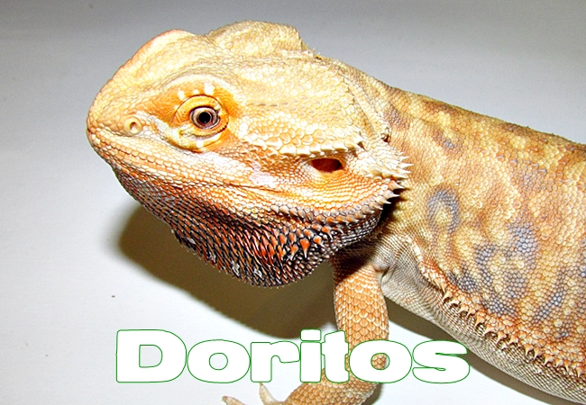 Doritos - Dragon barbu - Pogona vitticeps