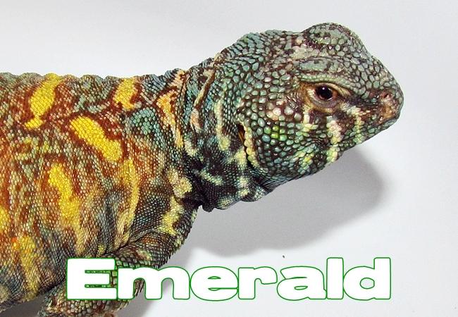 Emerald - Uromastyx ornata ornata