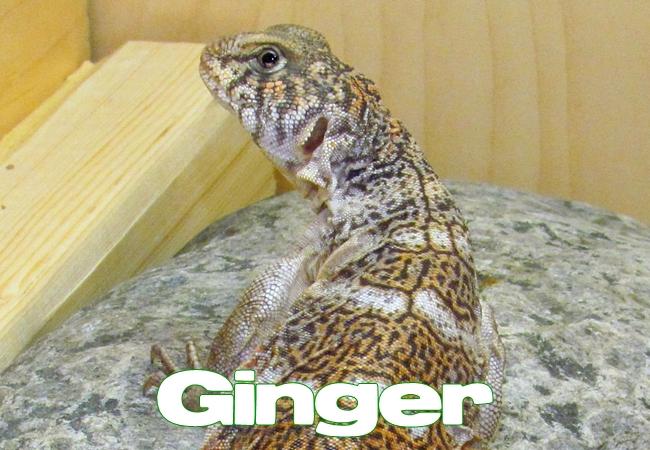Ginger - Uromastyx yemenensis