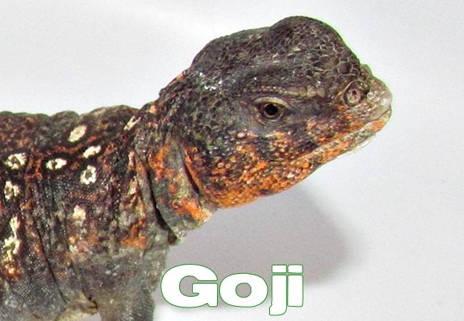 Goji - Uromastyx ocellata