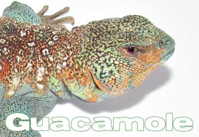 Guacamole - Uromastyx ocellata