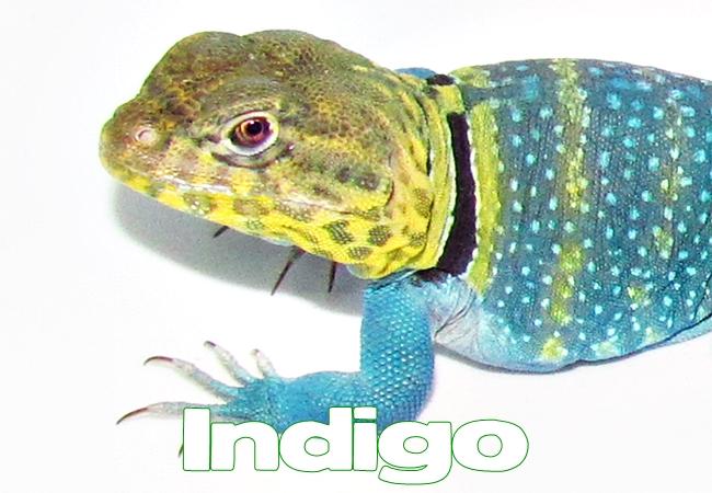 Indigo - Lézard à collier de l'ESt - Crotaphytus collaris
