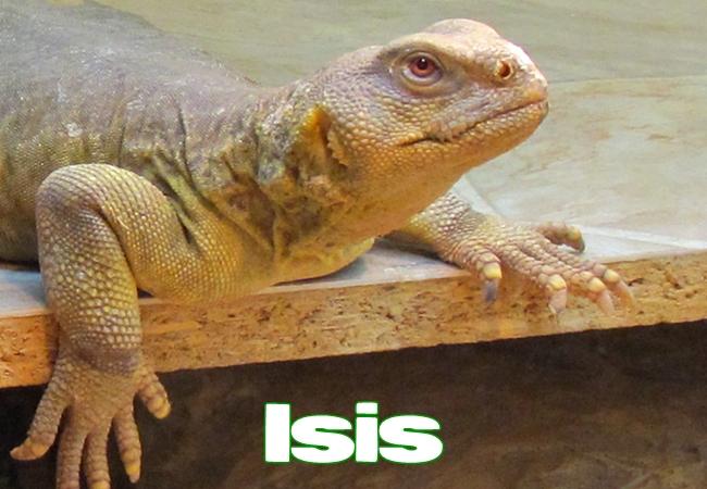 Isis - Uromastyx aegyptia