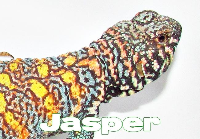 Jasper - Uromastyx ornata ornata