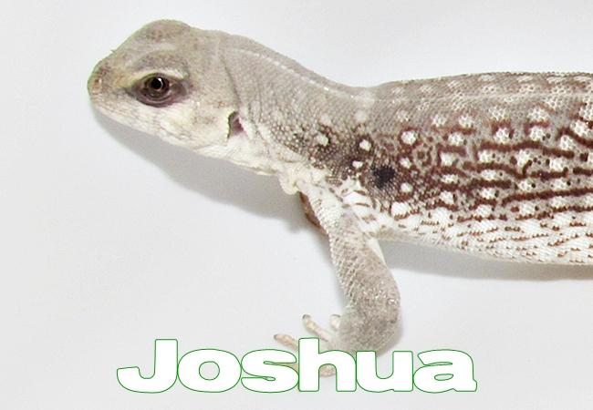 Joshua - Dipsosaurus dorsalis
