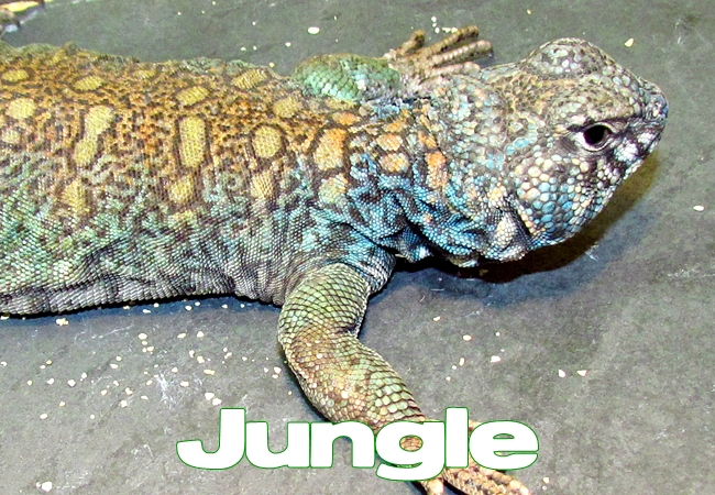 Jungle - Uromastyx philbyi