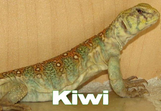 Kiwi - Uromastyx ocellata
