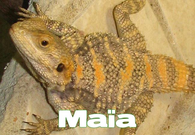 Maia - Agame peint - Laudakia stellio salehi