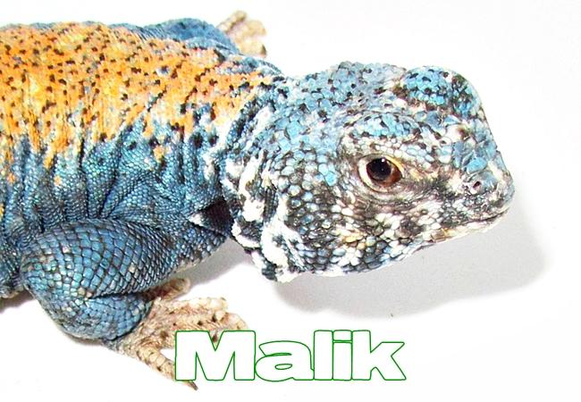 Malik - Uromastyx philbyi