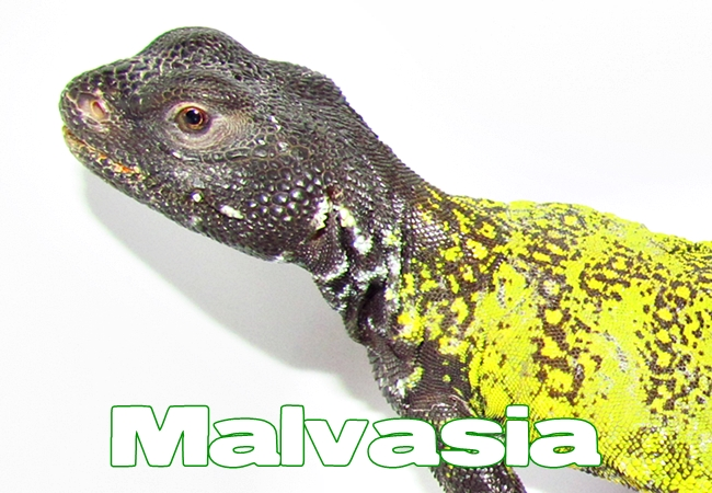 Malvasia - Uromastyx nigriventris