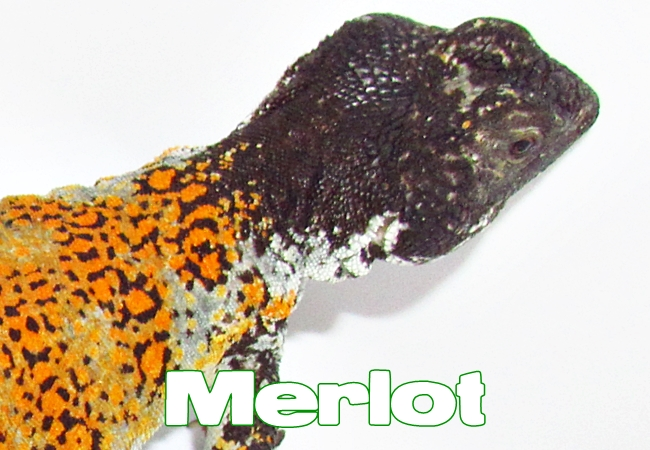 Merlot - Uromastyx nigriventris