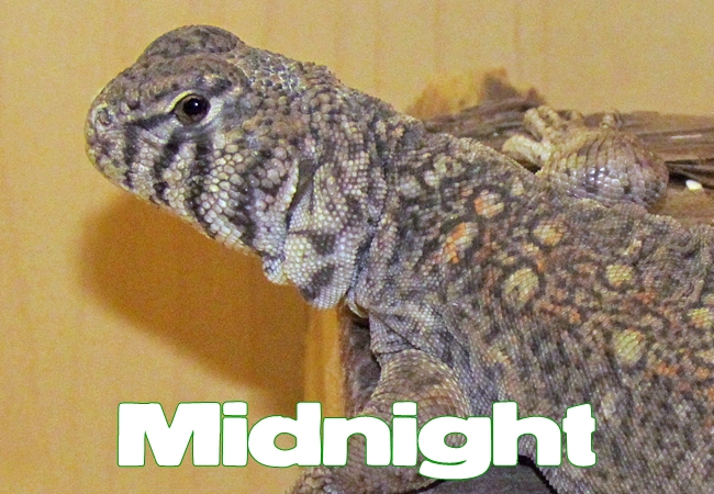 Midnight - Uromastyx philbyi