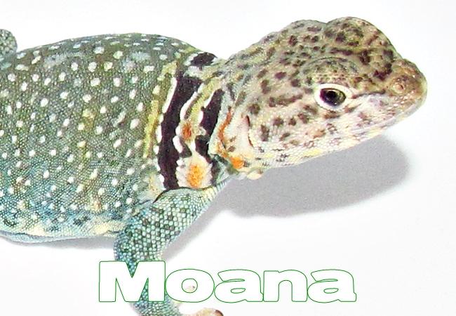 Moana - Lézard à collier de l'Est - Crotaphytus collaris