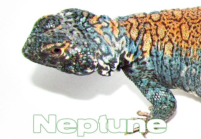 Neptune - Uromastyx philbyi