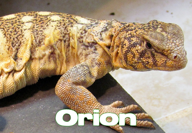 Orion - Uromastyx yemenensis