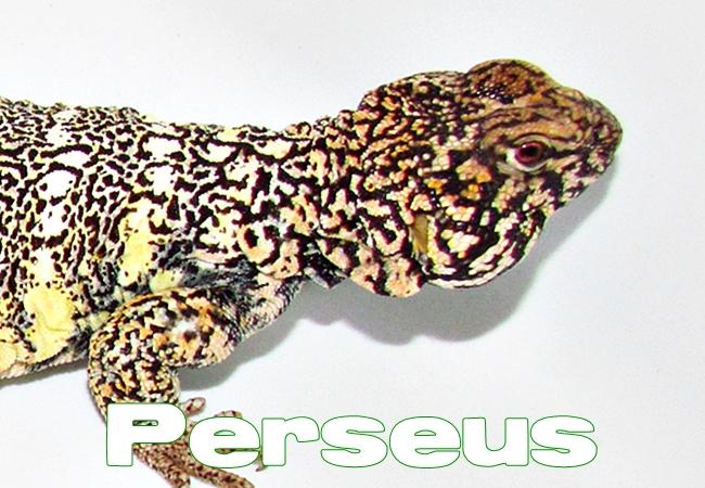 Perseus - Uromastyx yemenensis