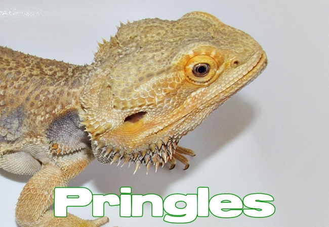 Pringles - Dragon barbu - Pogona vitticeps