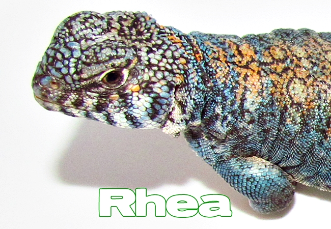 Rhea - Uromastyx philbyi