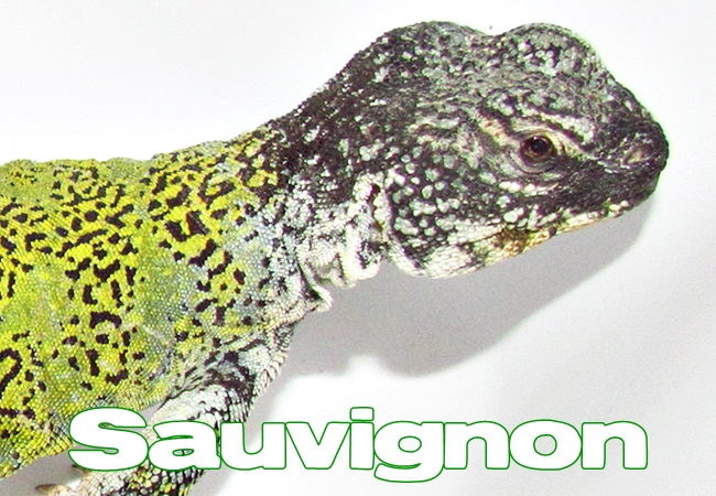 Sauvignon - Uromastyx nigriventris
