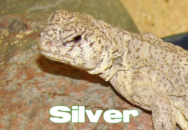 Silver - Uromastyx philbyi