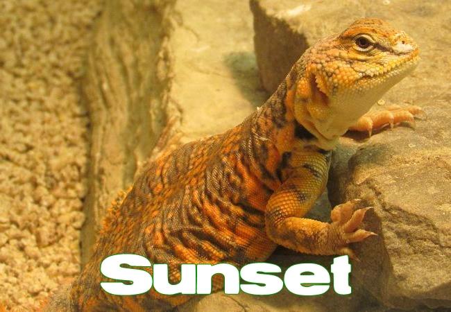 Sunset - Uromastyx geyri