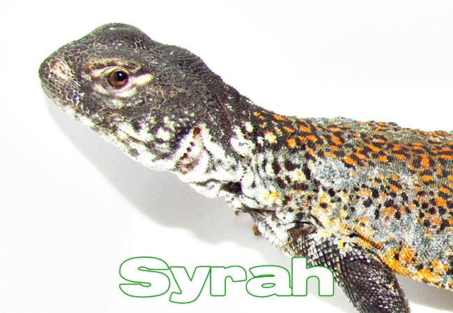 Syrah - Uromastyx nigriventris
