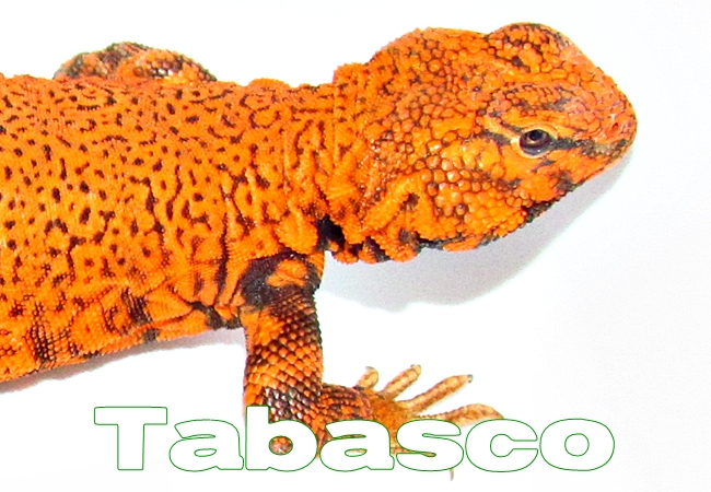 Tabasco - Uromastyx geyri