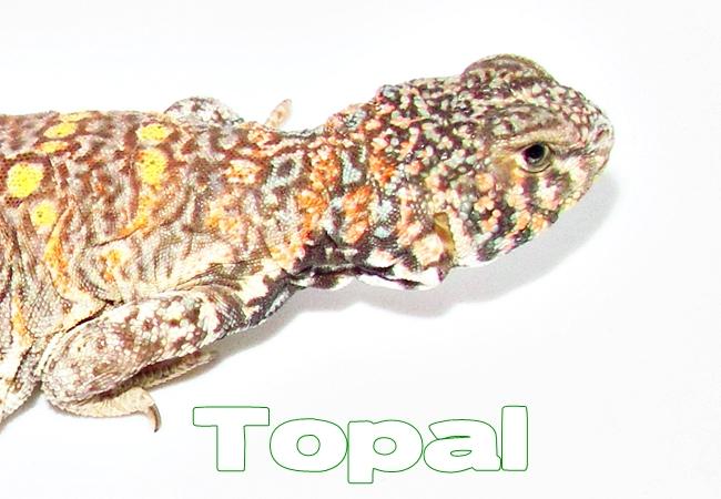 Topal - Uromastyx ornata ornata