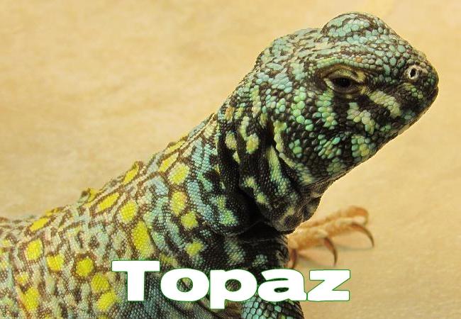 Topaz - Uromastyx ornata ornata