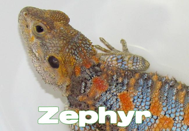 Zephyr- Agame peint - Laudakia stellio salehi
