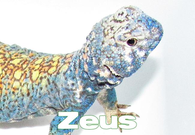 Zeus - Uromastyx philbyi