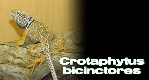 Élevages Lisard - Lézards à collier du désert / Desert Collared Lizards / Crotaphytus bicinctores
