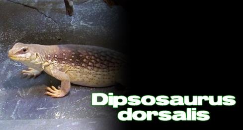 Élevages Lisard - Iguane du désert / Desert Iguana / Dipsosaurus dorsalis